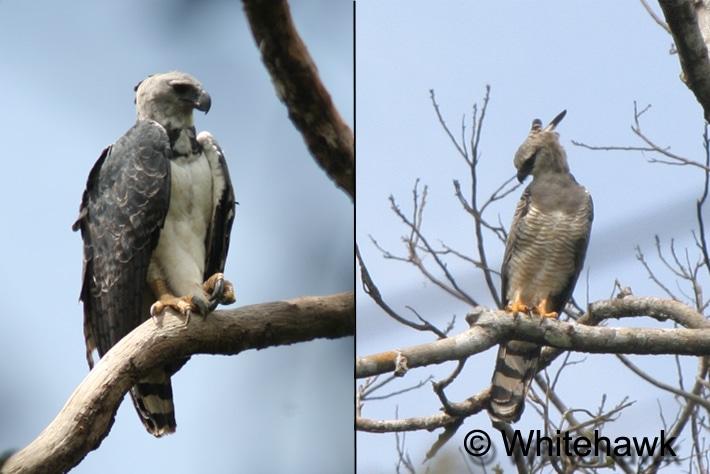 Harpy Eagle and Crested Eagle Panama