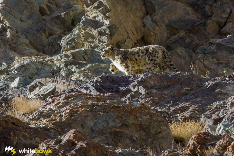 Snow Leopards India