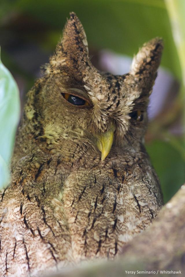 the Pacific Screech Owl
