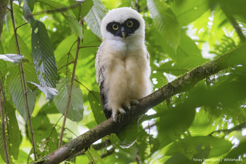 Young Spectacled Owl