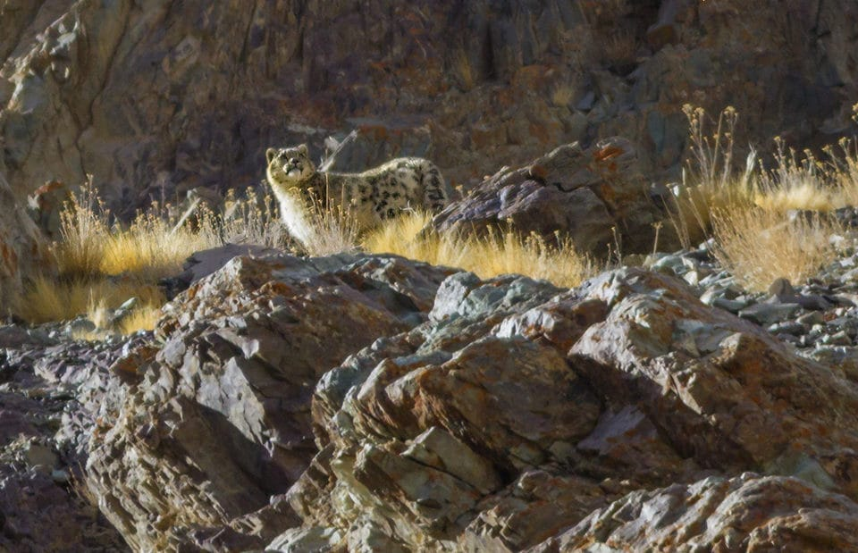 Snow Leopard India