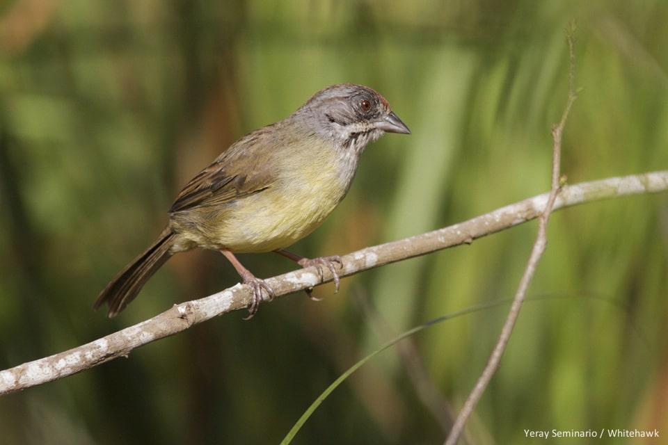 Zapata Sparrow Cuba