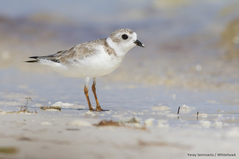 Piping Plover Cuba