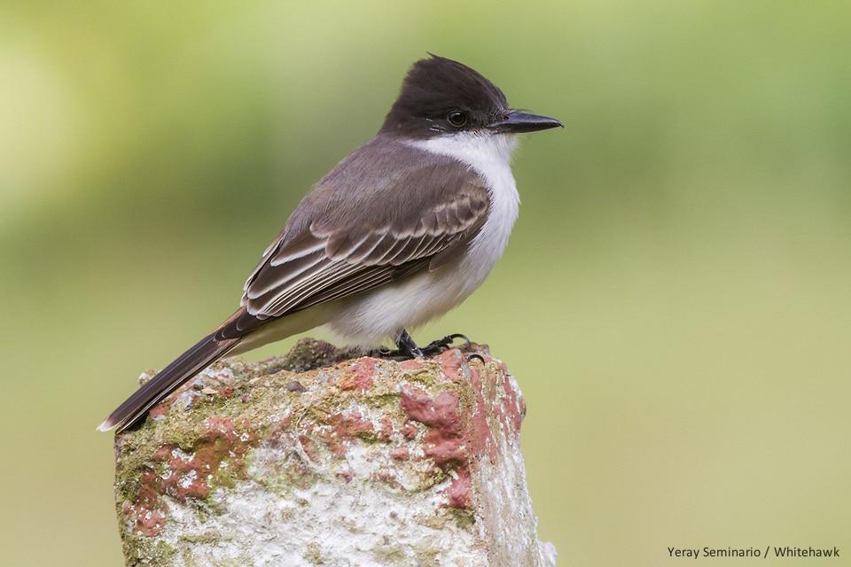 Loggerhead Kingbird Cuba