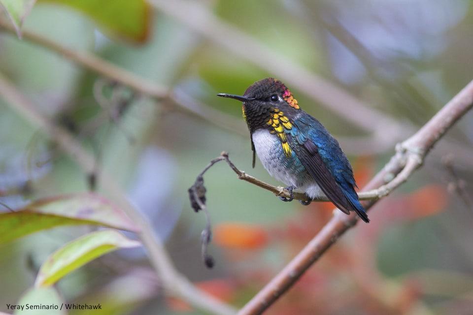 Bee Hummingbird Cuba