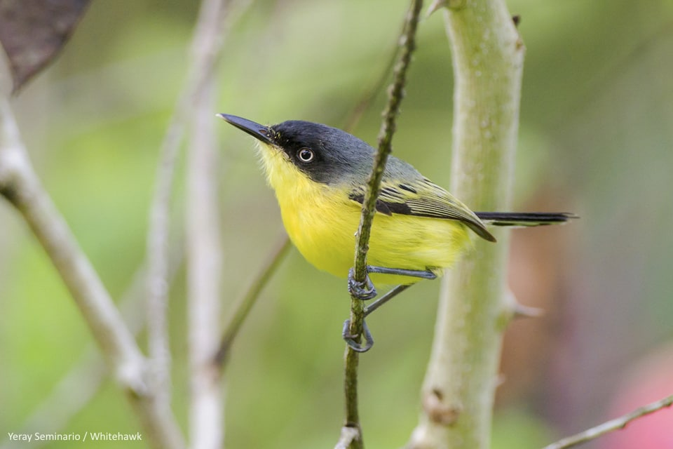 Common Tody-Flycatcher in Panama