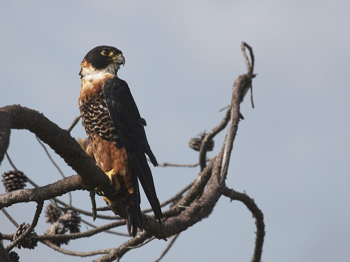 Orange-breasted Falcon Belize