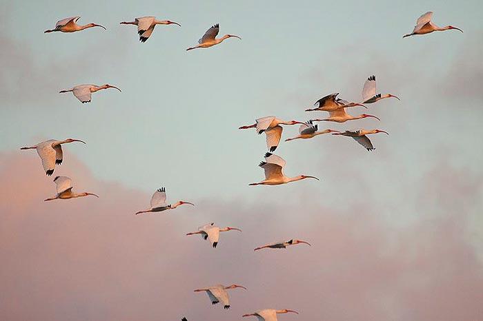 White Ibis Belize