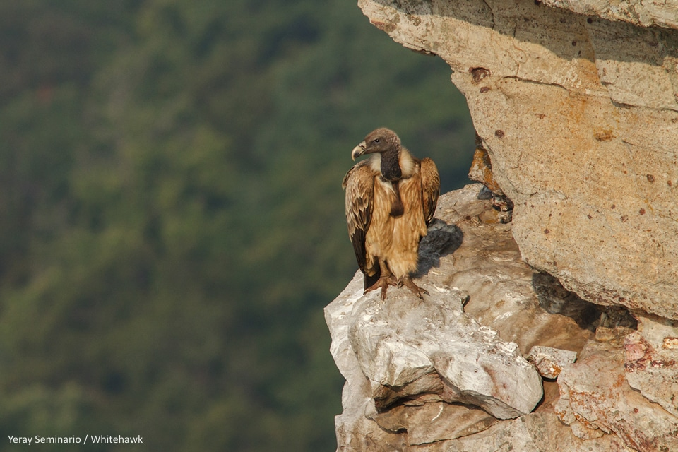 Indian Vulture India