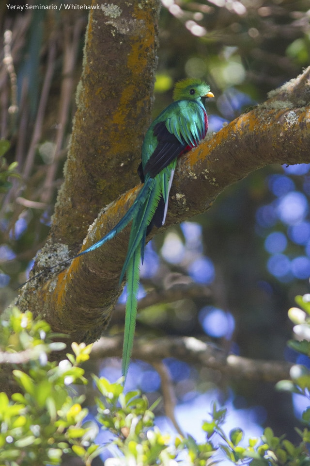 Resplendent Quetzal Panama