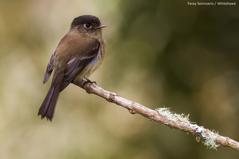 Black-capped Flycatcher (Empidonax atriceps)