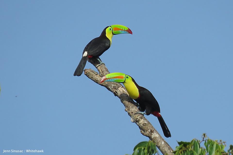 Keel-billed Toucan Panama Belize
