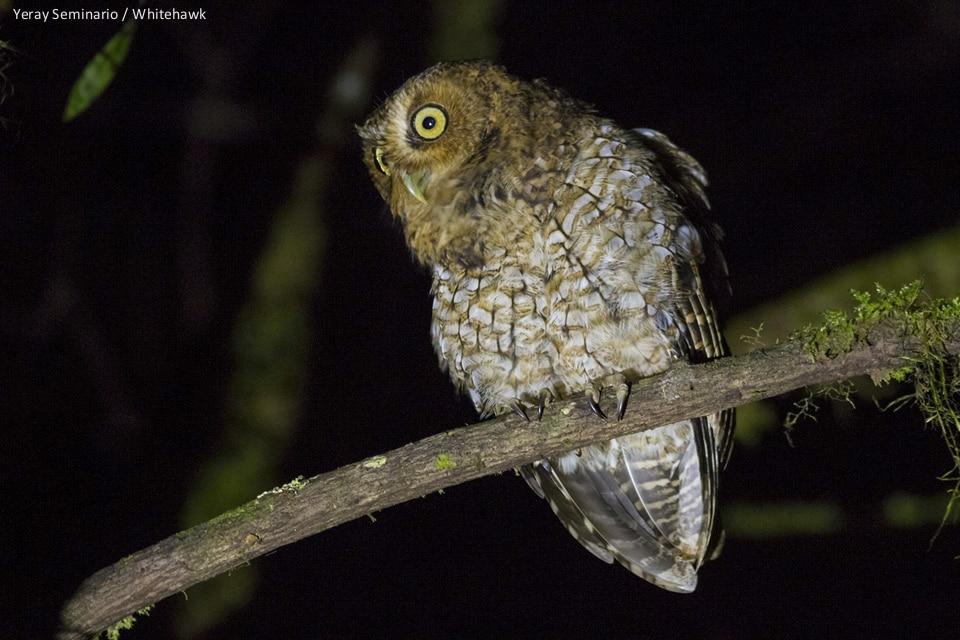 Bare-shanked Screech-Owl Costa Rica Panama