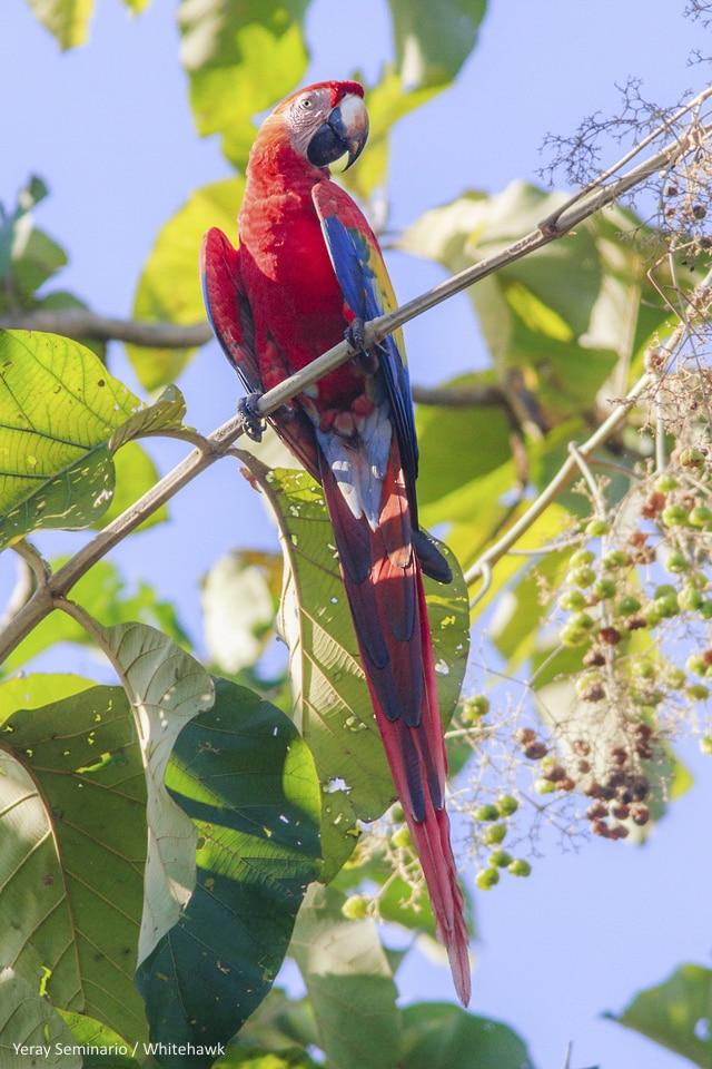 Scarlet Macaw, national bird of Honduras