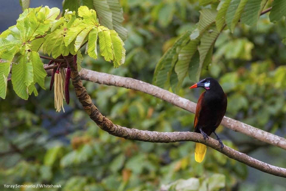 Montezuma Oropendola Panama