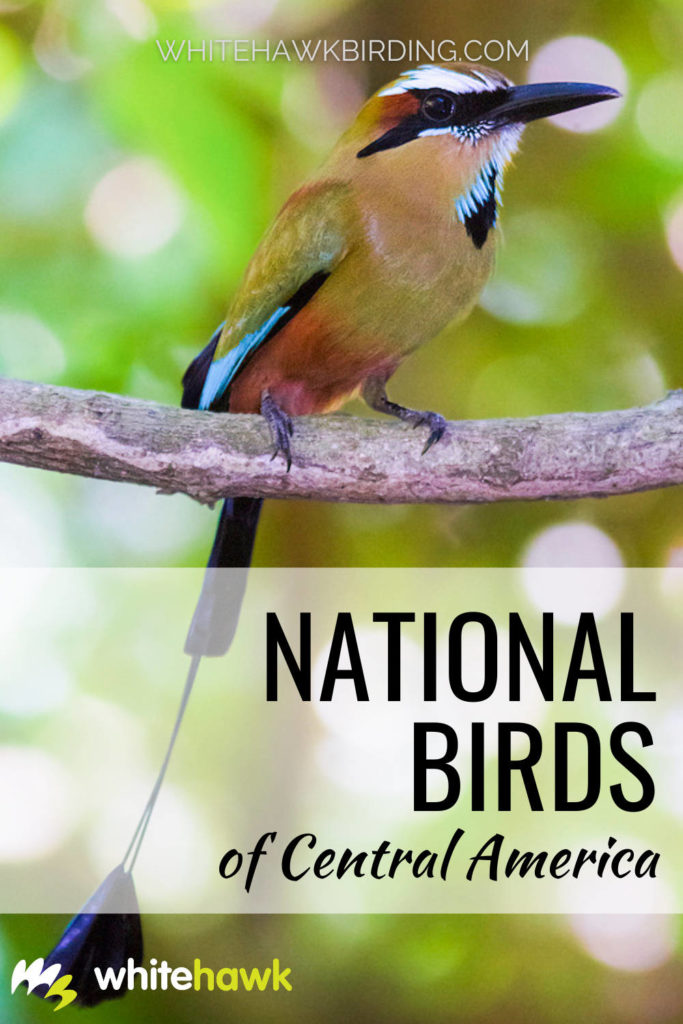 National Birds of Central America - Whitehawk Birding: Central America boasts some of the most beautiful and colorful birds on the planet. Discover what birds the Central American countries have chosen to best represent their nations.