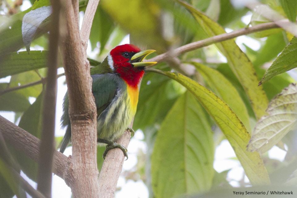 Red-headed Barbet Panama