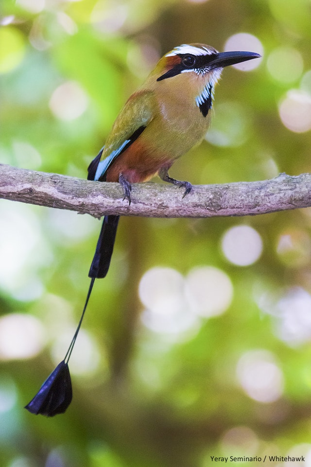 Turquoise-browed Motmot, national bird of El Salvador and Nicaragua