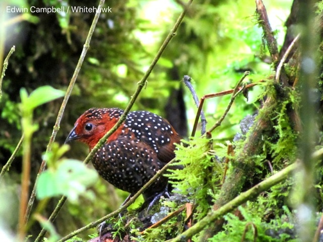 Ocellated Tapaculo in the Andean forest of Colombia