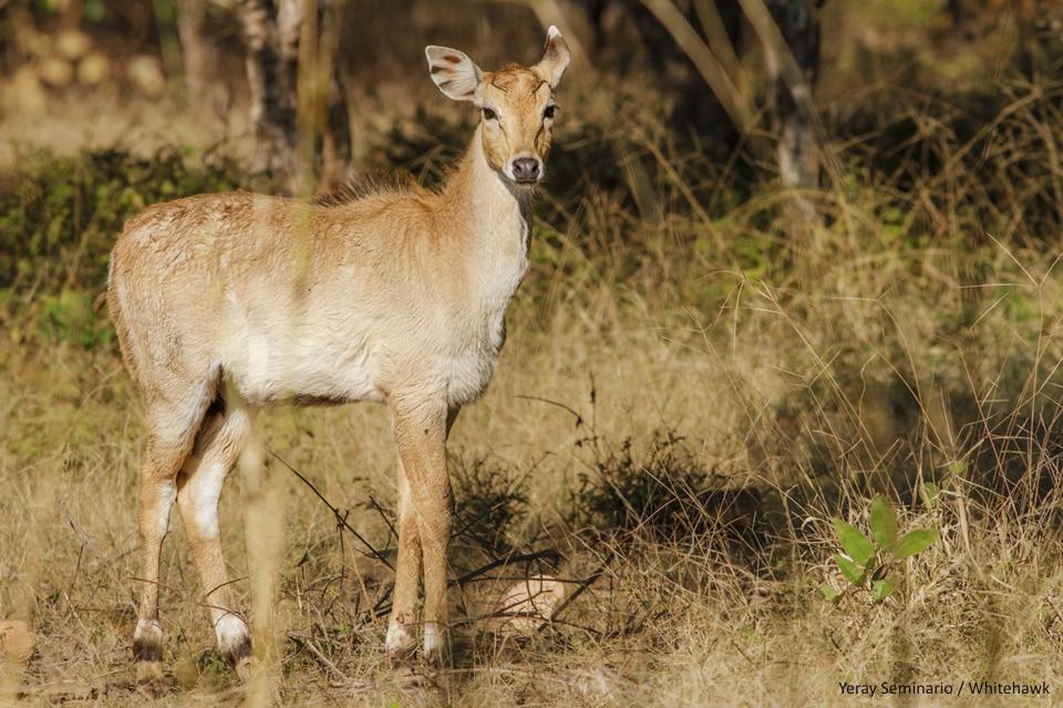 Nilgai calf at Bandhavgarh National Park - By Yeray Seminario