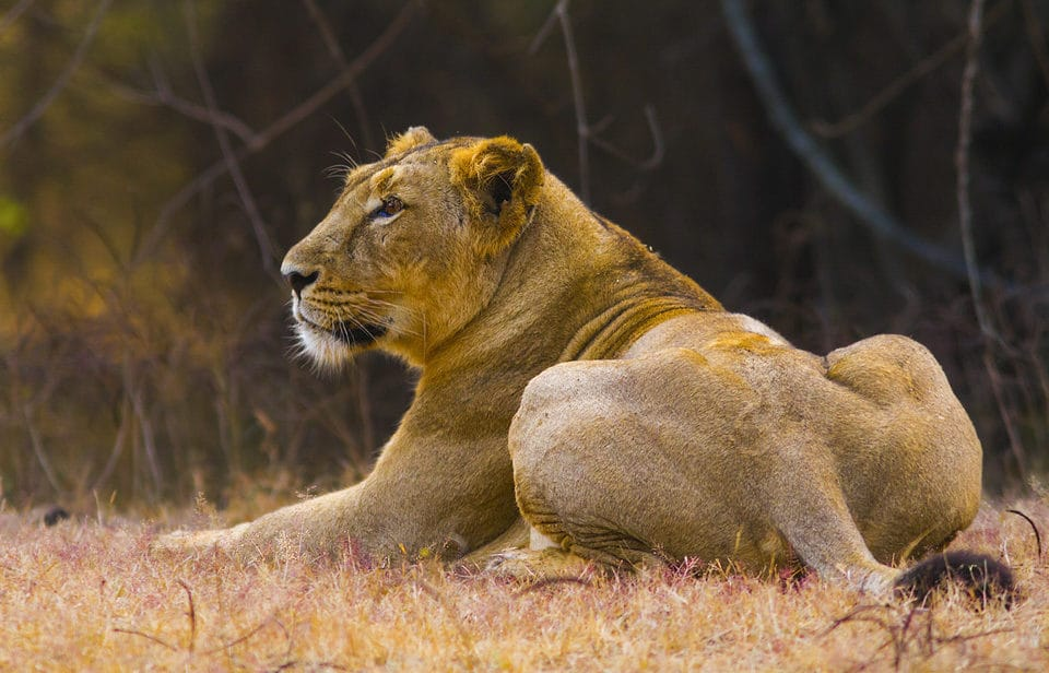 Asiatic Lion in India: Lioness in Gir Forest National Park - by Yeray Seminario
