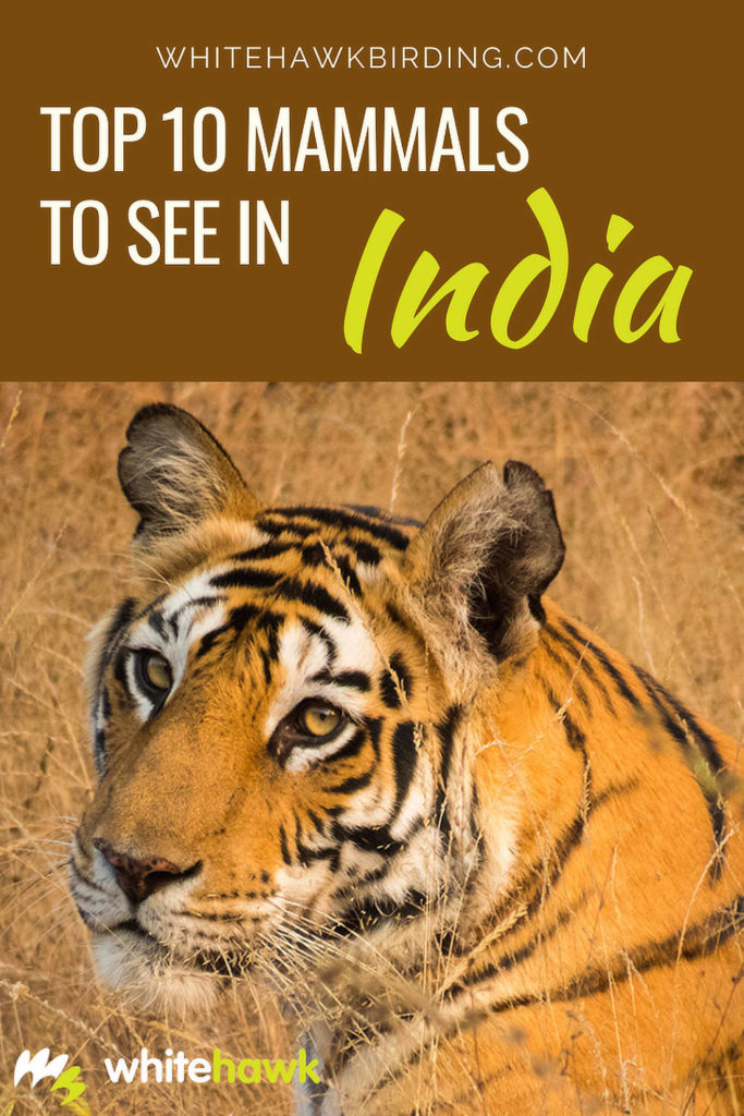 Top 10 Mammals to See in India - Whitehawk Birding: Traveling to India? You won't want to miss these amazing mammals of India