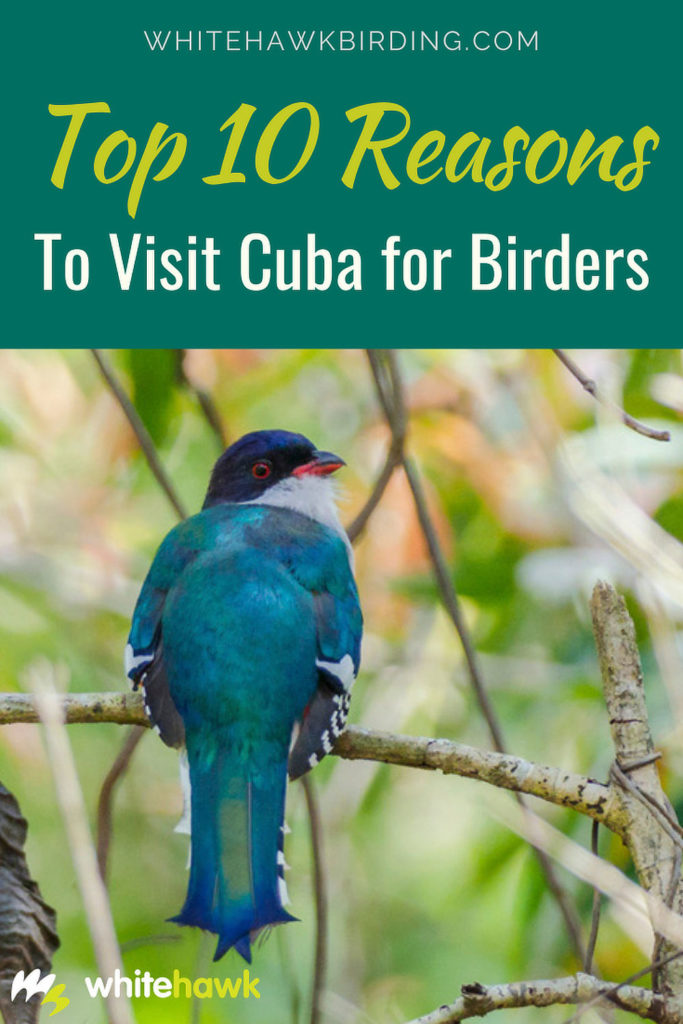 Top 10 Reasons to Visit Cuba for Birders - Whitehawk Birding: Cuba is home to many fascinating and unique birds, discover why Cuba is a birder's paradise.