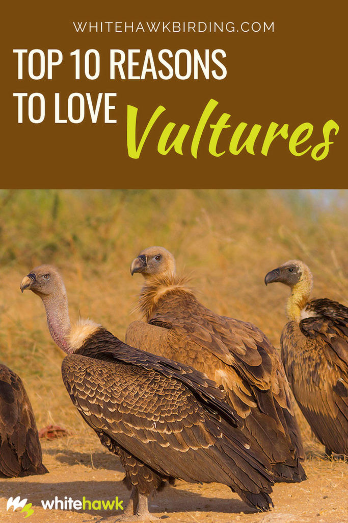 Top 10 Reasons to Love Vultures - Whitehawk Birding: Vultures may have a bad reputation, but they are important for our environment, and beautiful, too!