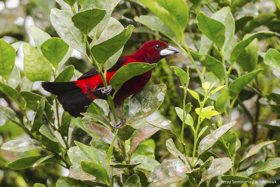 Crimson-backed Tanager Panama