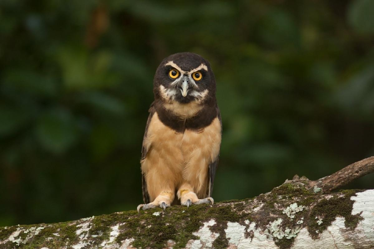 Spectacled Owl Panama Whitehawk Birding