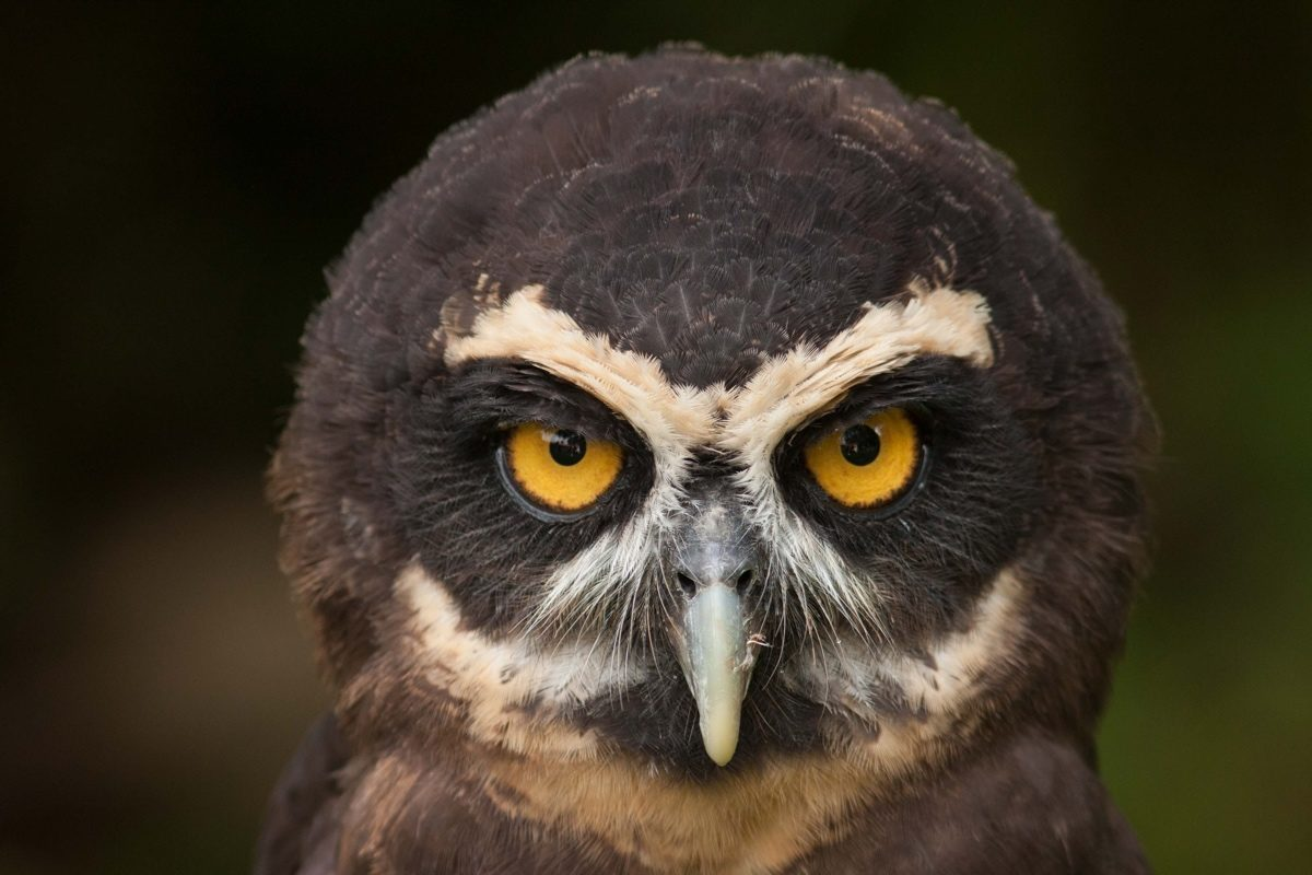 Spectacled Owl Panama