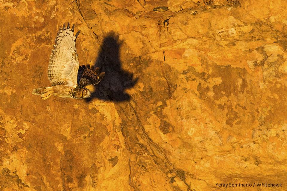 Pharaoh Eagle-Owl Morocco