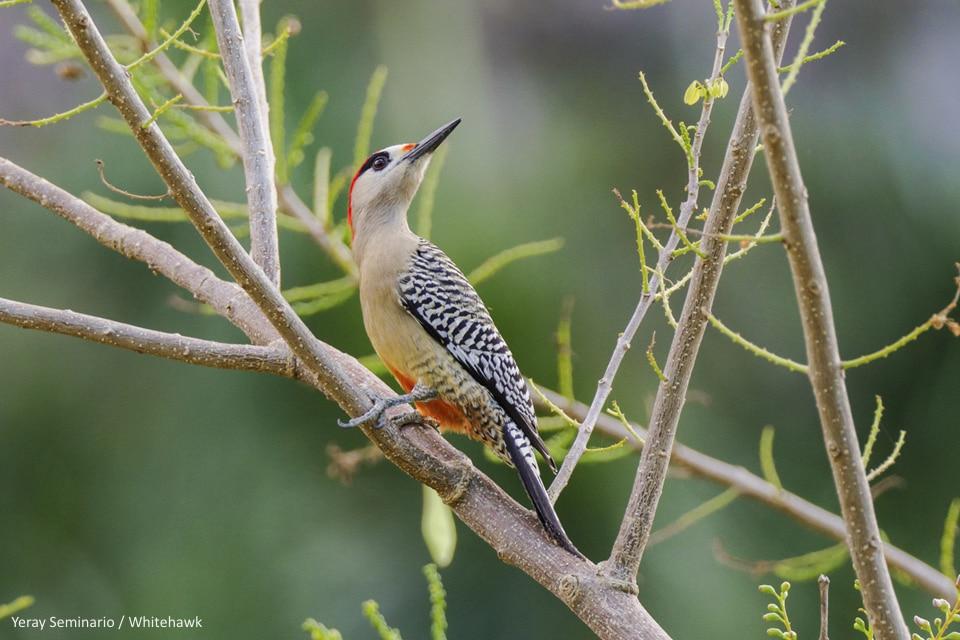 West Indian Woodpecker Cuba Whitehawk Birding