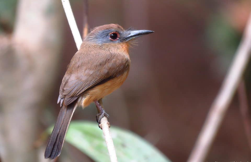 Gray-cheeked Nunlet Panama Whitehawk Birding