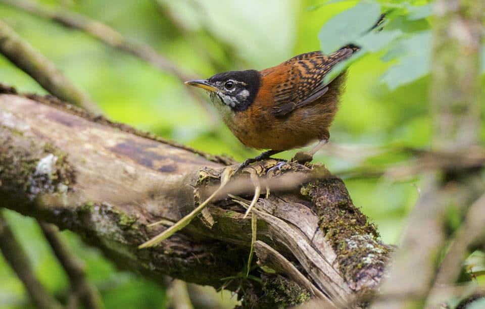 Bay Wren Panama Whitehawk Birding