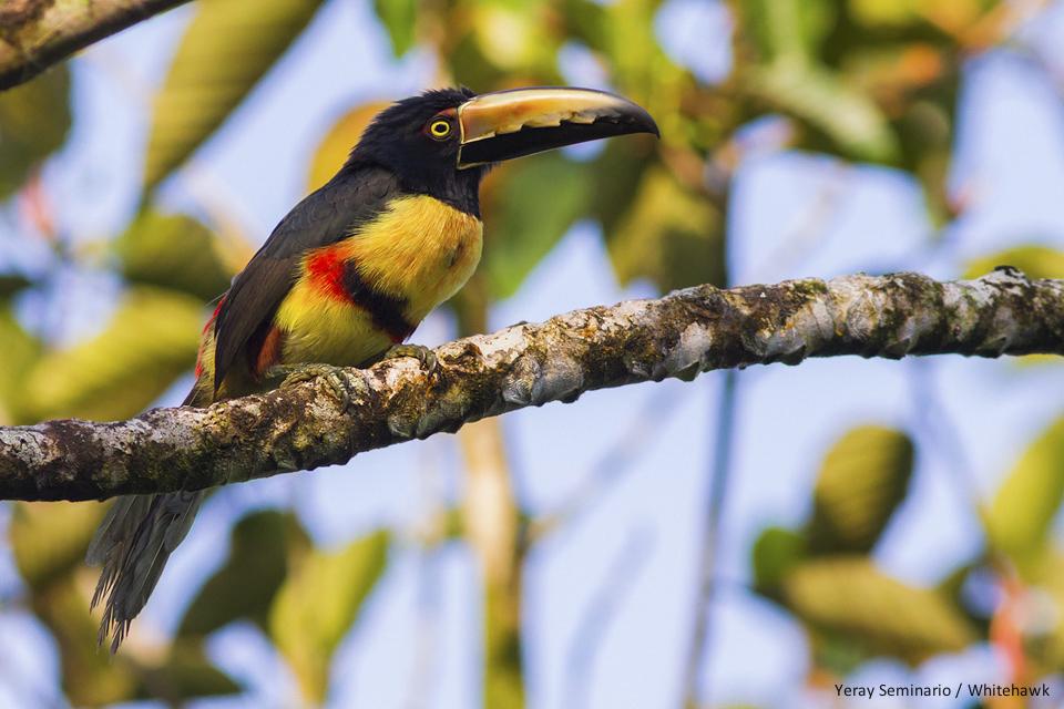 Collared Aracari Panama