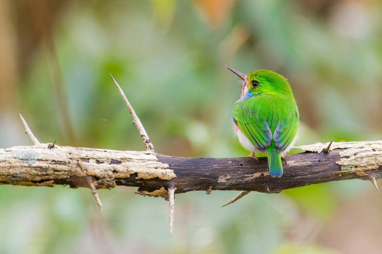 Cuban Tody Cuba Whitehawk Birding