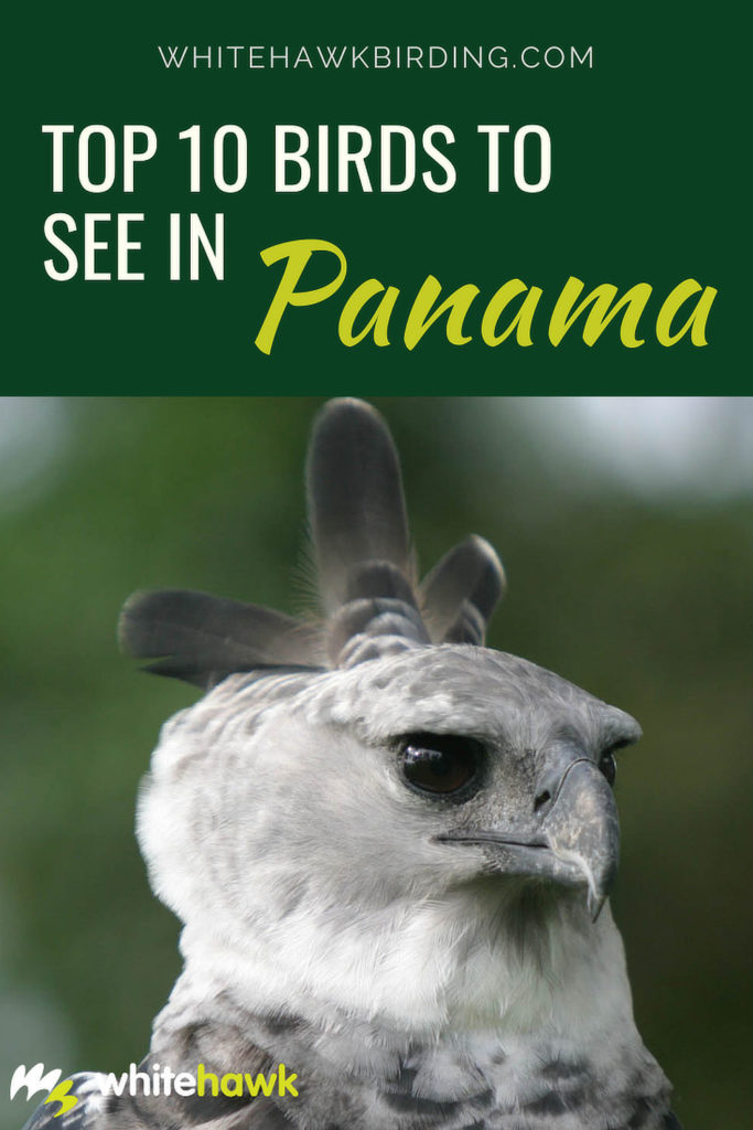 Top 10 Birds to See in Panama - Whitehawk Birding: Of over 1000 species of birds found in Panama, these are what we consider the top 10 to see when birding in Panama.