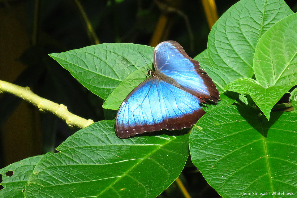 Common Morpho Panama Nature Tour Whitehawk Birding