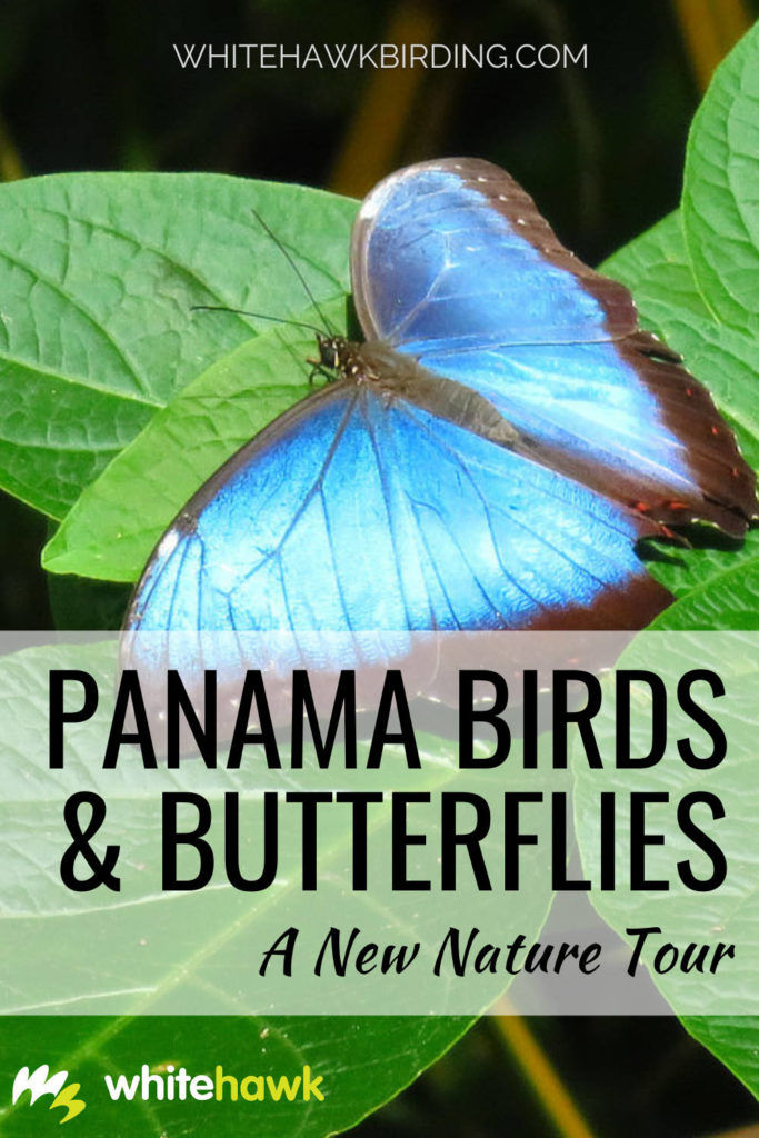 Panama Birds & Butterflies: A New Nature Tour - Whitehawk Birding: Birds and butterflies complement each other nicely, always giving us something to look at. Discover this exciting new Whitehawk tour, perfect for any nature lover.