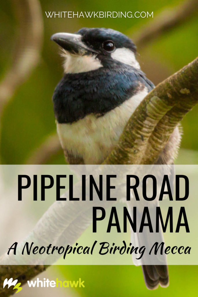 A Neotropical Birding Mecca: Pipeline Road Panama - Whitehawk Birding: For any birder who has a keen interest in Neotropical birds, Pipeline Road is a must! For decades and to this day, Pipeline Road is one the most-visited sites for birding in all of the Americas.