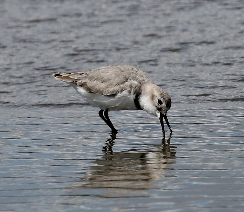 Wrybill New Zealand