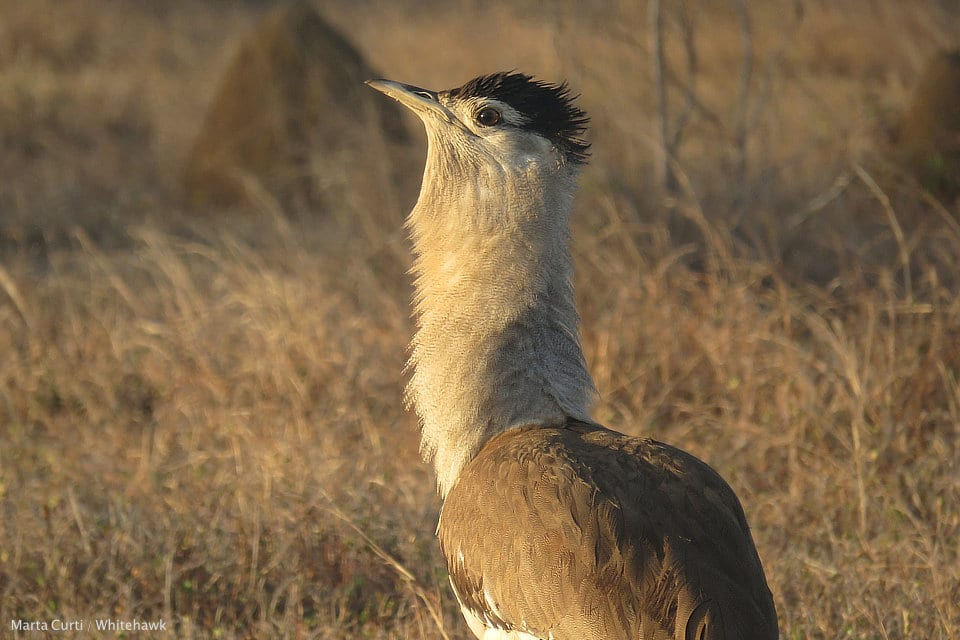 Australian Bustard Australia Birding Whitehawk