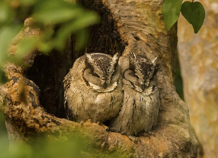 Indian Scops Owl India Birding Whitehawk