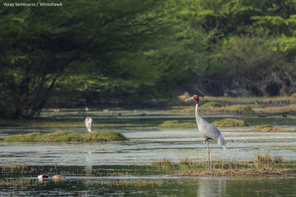 Sarus Crane India Whitehawk Birding