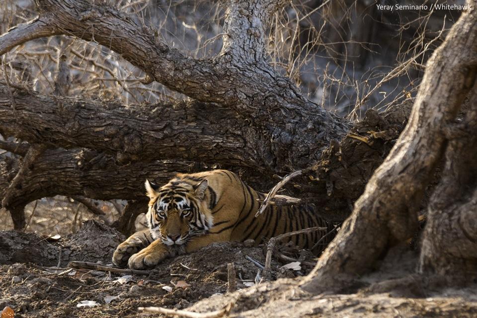 Tiger Safari India Whitehawk