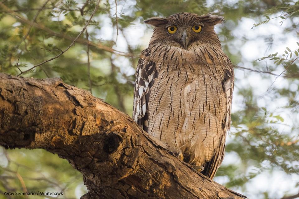 Brown Fish-Owl India Birding Whitehawk