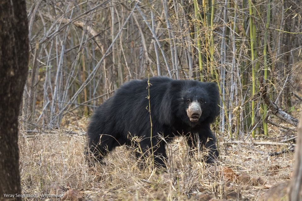 Sloth Bear India Mammals Whitehawk