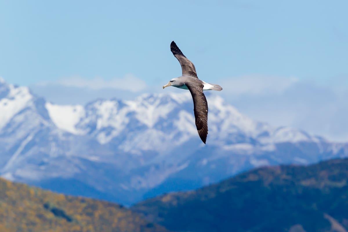 Albatross New Zealand