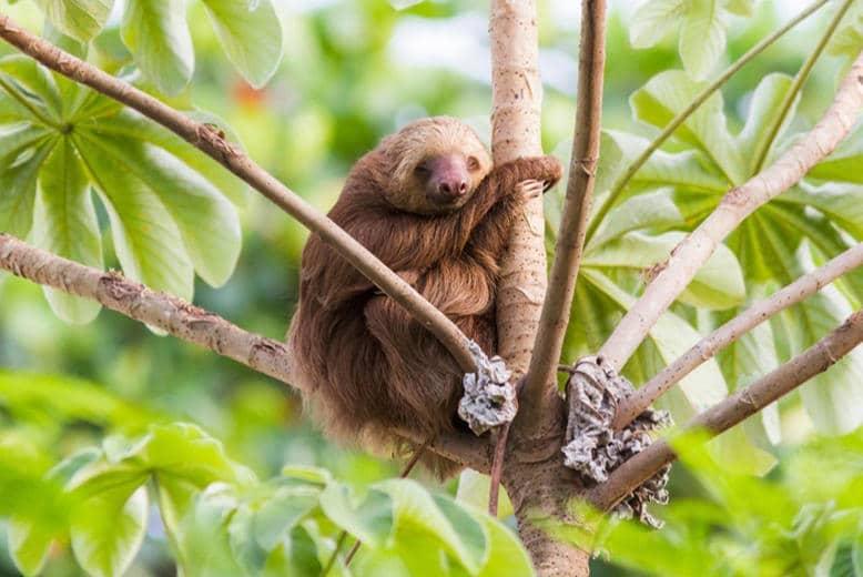 Two-toed Sloth Panama Mammals Whitehawk